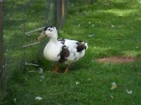 Male duck Free to good home