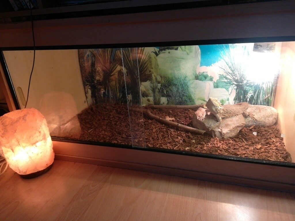 Bearded Dragon S How Much It To Own A