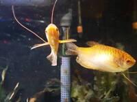 Gourami and Rainbowfish for sale