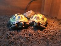 two horsefield tortoises-comes with everything needed