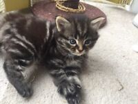 Maine coon mix kittens for sale