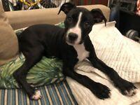 Staffordshire terrier x Bullmastiff Staffy Puppy girl for sale