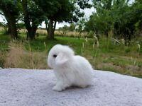 FOR RESERVE - Stunning Purebred minilop rabbits