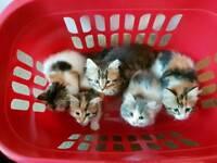 Stunning Siberian X Kittens