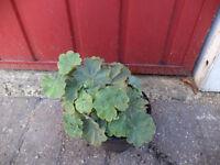 Alchemilla mollis lady's mantle plants in a 14 cm pot