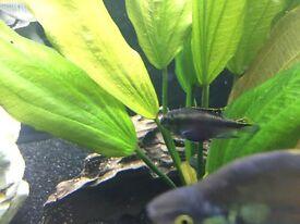Kribensis cichlids community fish and Cory pair