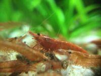 10 x red cherry shrimp group Algae Clean Up Tropical Aquarium