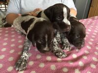 German Shorthaired Pointer pups, KC reg, male/female, solid liver and liver/white