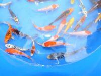 koi 4 inch koi nice bright fish