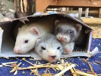 4 ferret kits for sale (all hobs)