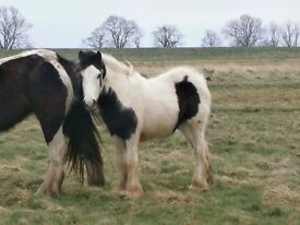 URGENTLY NEEDED Grazing land for rescue ponies near Desborough. 1-3 acres, willing to rent or buy.