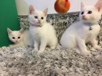 Beautiful 8 weeks kittens with odd yellow/blue eyes