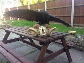 Real Wild RAVEN Corvus Corax Mount Bird TAXIDERMY Ram SKULL stuffed