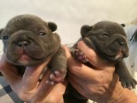 Blue lilac French bulldogs
