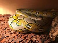 Reticulated python platinum dwarf 3 years old male