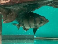 Datnoides Tiger Fish