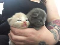 British shorthair cross mainecoon kittens