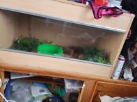 Corn snake and set up for sale