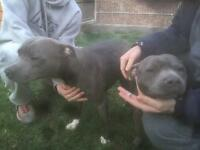 Blue pups due start of June !!!!