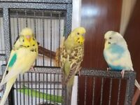 3 Male Budgies, Cage, Food, Accessories etc.