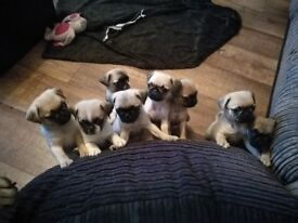 Pug puppies girls & boys are ready to go to a loving home
