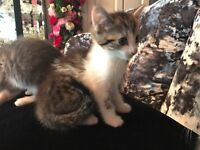 Kitten ready now 8 weeks