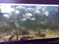African cichlid for sale