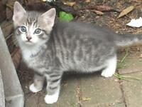 Kittens tabby bengal lookalike white 8 weeks old 3 kittens need to go today!