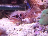 RED FLAME SCALLOP ( LIMARIA SP) MARINE ONLY (1 SOLD ONLY 2 LEFT)
