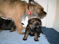 Kc registered border terrier puppies