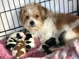 Shih tzu cross puppies for sale