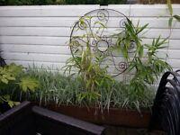 Variagated Grass