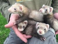 Polecat Kittens