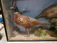 Two lovely cased pheasants