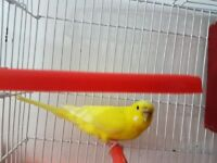 yellow budgie and double breeding cage and food all £30 only