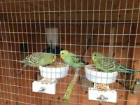 Four baby budgies for sale - beautiful green colouration