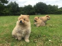 2 beautiful Pomeranian female puppies left
