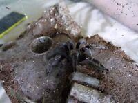 Tarantulas With Enclosures - N. Chromatus, B. Vagans, E. Pulch., P. Camb., G. Porteri