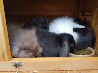 Lovely baby mini lops for sale - ready to go immediately!