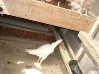 aseel chicken for sale