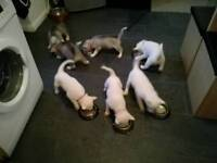 4 all white Siberian Husky Puppies For Sale
