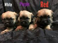 Border terrier puppys for sale