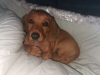 Dachshund puppy mini