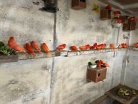 Red factors canaries for sale