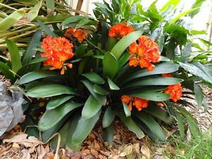 Matured flowering clivia plants for sale Metford Maitland Area Preview
