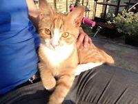 Golden Kitten Very Loving Amazing Price