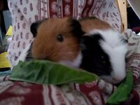 Two female guinea pigs and indoor cage
