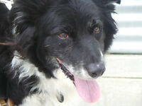 Lovely Border Collie