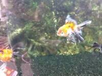 Large fancy fantail goldfish