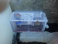 blue eyed white haired bunny + 4×3 ft cage 4 sale